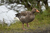 Greylag Goose - in transit from the northern shore of the Þingvallavatn (lake).