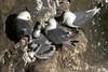 Black-legged Kittiwake - several chicks and 3 adults.