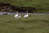 Whooper Swans and their 4 young cygnets along the mountain stream, flowing from the western slope of the Króksfjall mountain peak - located in the Highlands area, of the Northwest region of Iceland.