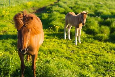Icelandic Horses | Near Borgarkot, Iceland