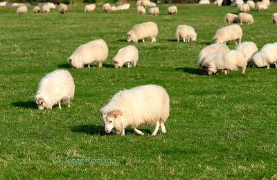 Icelandic sheep grazing on a field in Southern Iceland