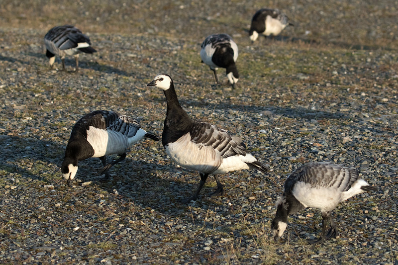 Barnacle Geese - they display a white face with black crown - the neck and breast are black - the belly is white with grey mottling along the sides - the upper-parts are grey (bluish) with black and white stripes across the wings - the bill and legs are black - these specimens during late July - foraging near the glacial Jökulsárlón (lagoon/lake).
