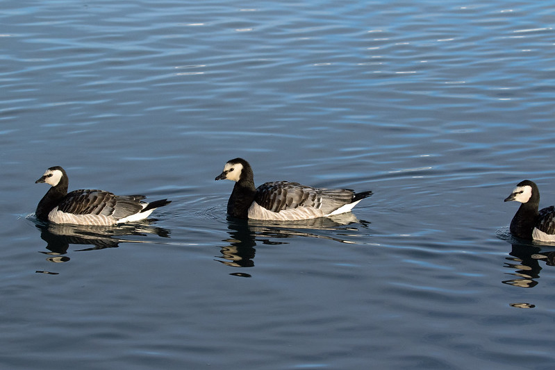 Barnacle Geese - upon the brackish and glacial water of the Jökulsárlón (lagoon/lake).