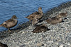 Common Eider sea ducks - female specimens with ducklings - Jökulsárlón (lake/lagoon)