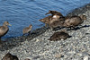 Common Eider - sea ducks - hens and ducklings coming ashore along the Jökulsárlón (lake/lagoon).