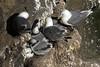 Black-legged Kittiwake - a pair of adults adjacent several young chicks.