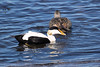 Common Eider - they are sociable in breeding season, and often nests in colonies. The female's breast down is noted for its insulating qualities, and is used in large amounts in the nest lining of these ducks, helping to keep the eggs warm - and this down is still harvested for commercial use in Iceland.
