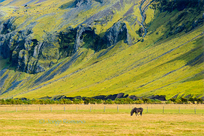 Black icelandic horse grazing on a field near a lava hill, Southern Iceland