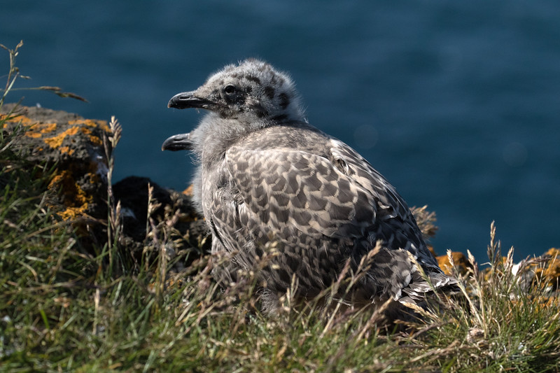 Glacuous Gull chicks - Valahnúkur cliff - at the southwestern end of the Reykjanes (Smoky Point) Peninsula.