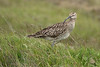 Whimbrel - this wide ranging migratory birds are omnivores, feeding mainly on crustaceans, marine worms, insects and berries - they are a family member of the Sand Piper birds.