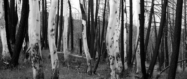 Silvery dead aspens intermixed with charred lodgepole pine.