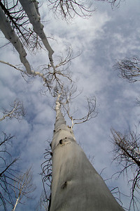 Looking skyward up the smooth skin of a dead aspen tree.