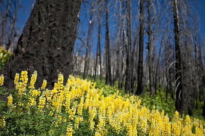 No saturation necessary.  There are some stunning patches of Yellow Lupine in the burn.