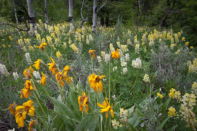 Flower transition.  A wilted Arrowleaf Balsamroot gives way to lush yellow Lupine.