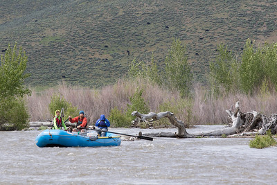 Many braided channels amongst cottonwood logs.  Note the early spring steer's head flowers on the far hillside.