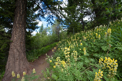 Yellow Lupines blooming on the climb from Greenhorn to the Imperial Saddle.