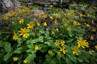 Heart-Leafed Arnica is carpeting the understory of the shaded forest right now.