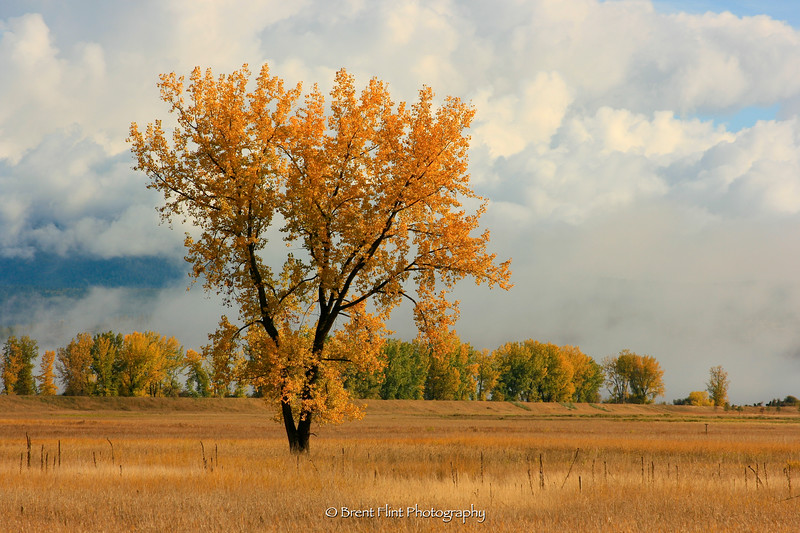 DF.1885 - lone cottonwood in Autumn, Kootenai National Wildlife Refuge, ID.