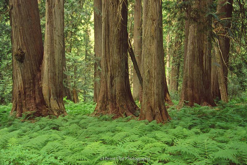 S.4079 - Western redcedar and lady ferns, Hobo Cedar Grove Botanical Area, St. Joe National Forest, ID.