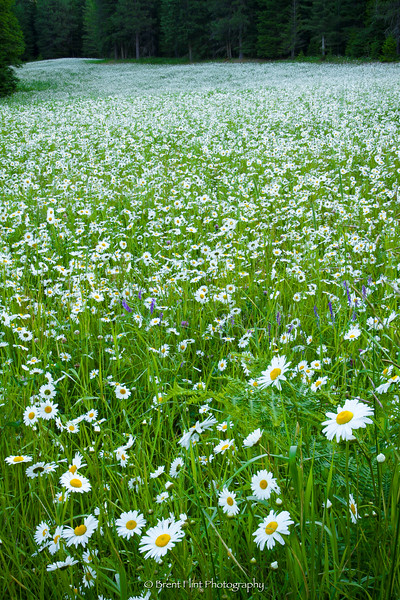 DF.1758 - meadow of oxeye daisies, Bonner County, ID.
