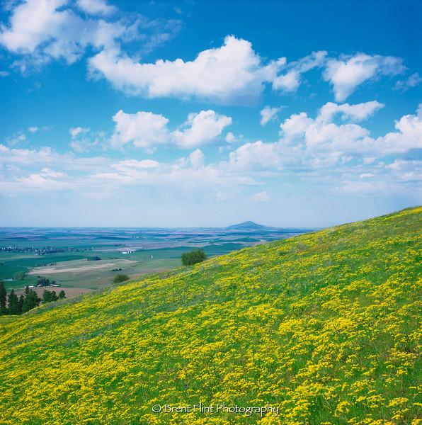 DF.1385 - hillside of desert parsley and Steptoe Butte on Palouse, McCroskey State Park, ID.