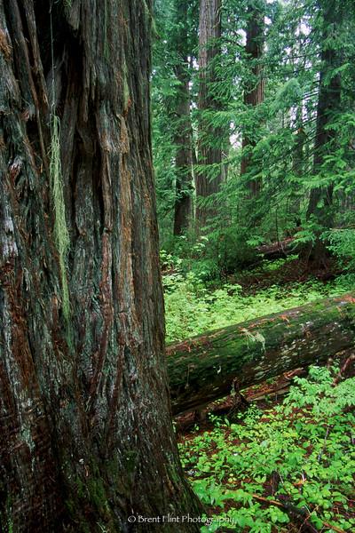 S.4059 - Western Red Cedar trunk and forest, Hobo Cedar Grove Botanical Area, St. Joe National Forest, ID.