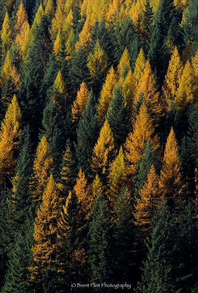 S.3875 - Western larch and spruce, Kaniksu National Forest, ID.
