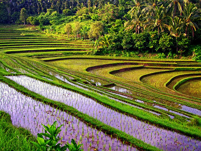 Terraces in the Late Afternoon,  Tabanan, Bali