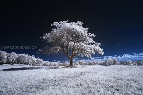 Old Lonely Tree on Hill during Fall in Andover Massachusetts with 720nm Infrared