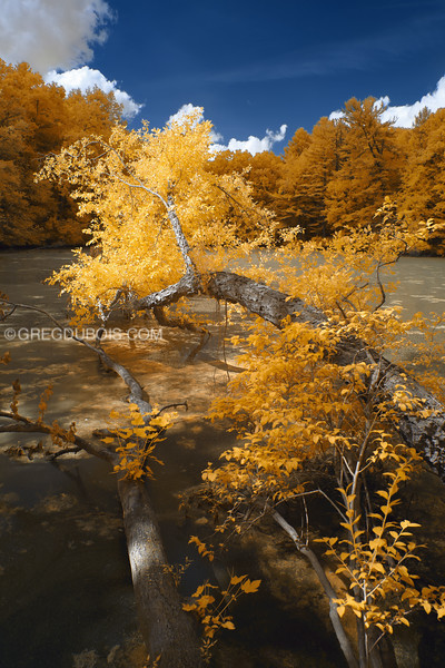 Fallen Tree in Water at Rea's Pond in North Andover Massachusetts with 590nm Infrared