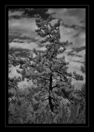 IR Pine