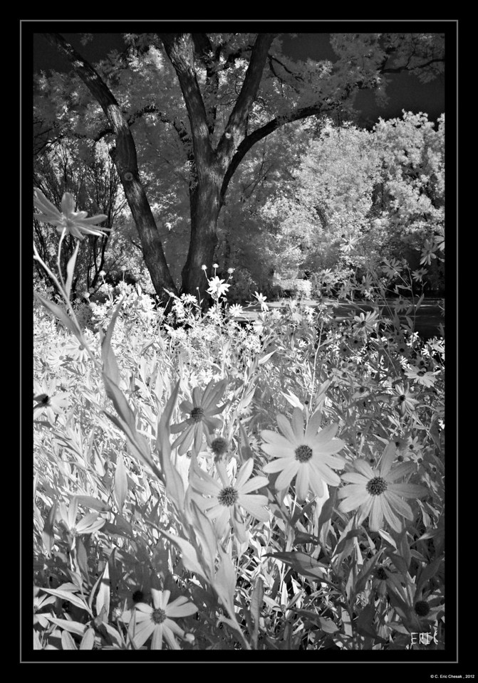Flowers In the Meadow<br /> <br /> Date:September 22, 2012<br /> <br /> Camera: Full Spectrum converted Canon 40D<br /> Lens: Canon EF24-70 f2.8L<br /> Filter:Astronomik Proplanet 742 Clip-in<br /> Tripod: Induro AT313 with BH-2 Ball Head<br /> Exposure: ISO 100, f11