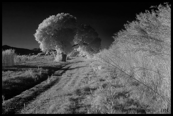 Cottonwood Beauty along the Rio Grande  Date:April 28, 2012  Camera: Full Spectrum converted Canon 40D Lens: Canon EF24-70 f2.8L Filter:77mm R72 (720nm) Tripod: Induro AT313 with BH-2 Ball Head Exposure: ISO 100, f22