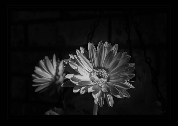 Spring Gerbera Daisy