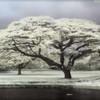 Monkeypod Tree, Punaluu