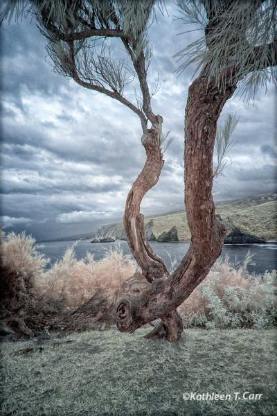Tree and Kohala Coast