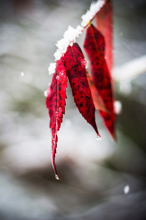 Snow Covered Sumac