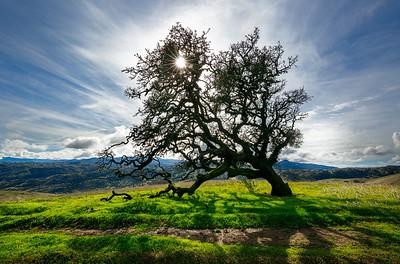 Oak Sunburst
