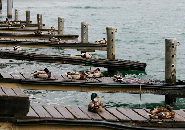 Mallards (Anas platyrhynchos), all males, on the Zeller See docks
