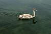Juvenile swan on Zeller See - SW area of the lake at Junges Hotel (Pension - Hostal).