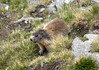 Alpine Marmot (Marmota marmota) - the largest species of the squirrel Family - they grow to about 7 in.(18 cm) at the shoulder - a length of around 21 in. (54 cm), not including the tail - and a weight up to about 17 lb. (8 kg) - they burrow into the ground, where they make their living areas, that is lined with dried grasses and twigs - during the winter they seal the burrow's entrance and hibernate.