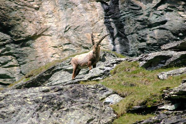 Alpine Ibex - among the sedimentary limestone of the Hohe Tauern National Park