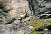 Alpine Ibex - among the sedimentary limestone of the Hohe Tauern National Park