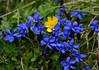 Spring Gentian (Gentiana vema) - Hohe Tauern National Park