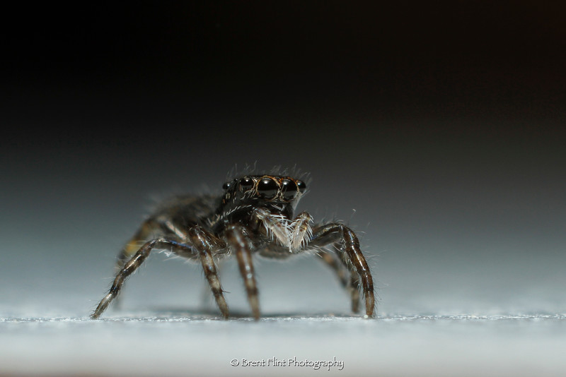DF.3991 - jumping spider, Bonner County, ID.