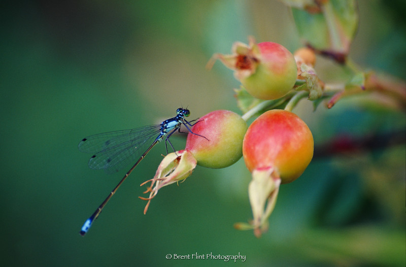S.4646 - bluet damselfly resting on rose hips, Turnbull National Wildlife Refuge, WA.