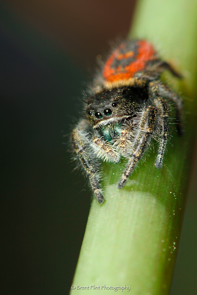DF.4632 - Phidippus johnsoni jumping spider, Bonner County, ID.