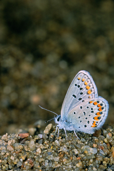 S.655 - orange-bordered blue, Castlewood Canyon State Park, CO.