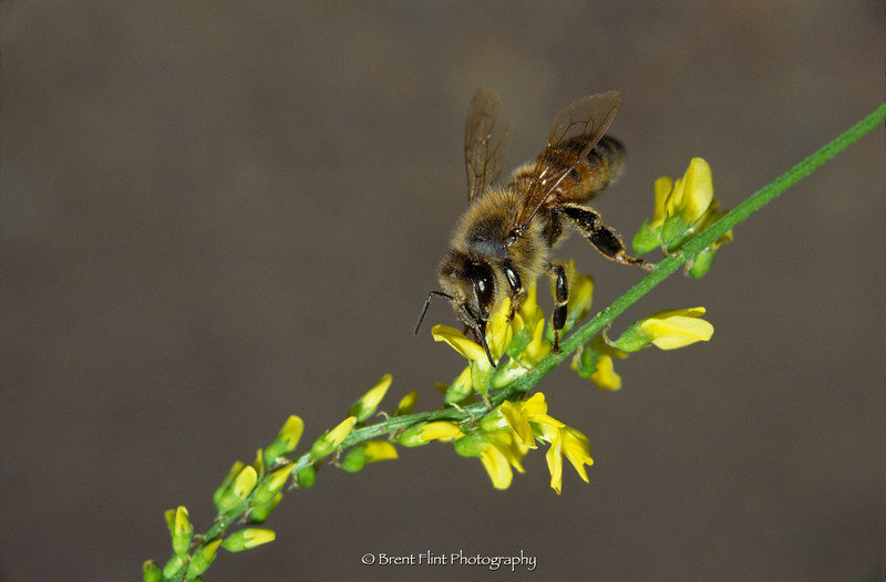 S.1698 - honey bee, Douglas County, CO.