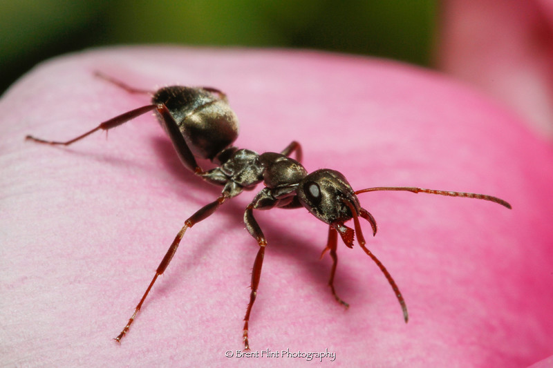 DF.5149 - carpenter ant on peony, Bonner County, ID.